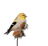 Мужской американский Goldfinch в оперении зимы; изолированный на белизне Стоковая Фотография