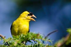 Мужской американский Goldfinch поя в солнечности Стоковые Фотографии RF