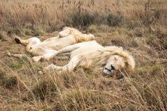 Мужской африканский белый лев & x28; leo& x29 пантеры; отдыхать Стоковая Фотография