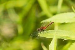 Мужской белый смотреть на Dragonfly Meadowhawk на лист Стоковое Фото