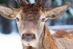 Мужской благородный портрет elaphus Cervus оленей смотря близкий поднимающий вверх портрет в зиме стоковая фотография rf