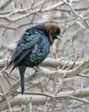Мужской Брайн-головый Cowbird, ater Molothrus, дисплей стоковые фотографии rf