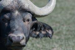 Мужской буйвол Стоковые Изображения RF