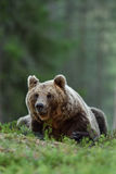 Мужской бурый медведь лежа в лесе Стоковое фото RF