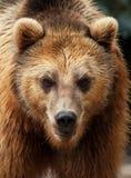 Мужской бурый медведь смотрит к камере Стоковая Фотография