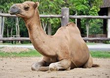 Мужской верблюд дромадера Стоковые Фото