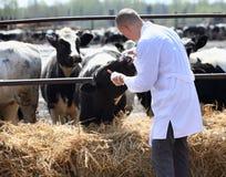 Мужской ветеринар коровы Стоковое фото RF
