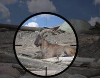 Мужской восточный кавказец Tur Стоковые Фотографии RF