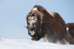 Мужской вол мускуса в зиме Стоковая Фотография RF