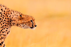 Мужской гепард в Masai Mara Стоковое Фото