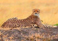 Мужской гепард в Masai Mara Стоковые Изображения