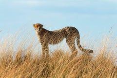 Мужской гепард в Masai Mara Стоковое Изображение RF