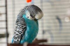 Мужской голубой волнистый попугайчик на поляке стоковое фото