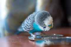 Мужской голубой волнистый попугайчик на таблице стоковые изображения