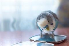 Мужской голубой волнистый попугайчик на таблице стоковое фото rf