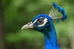 Мужской голубой конец-вверх павлина Стоковое Изображение
