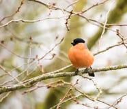 Мужской евроазиатский Bullfinch Стоковое фото RF
