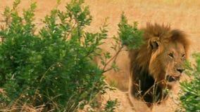 Мужской лев в Masai Mara акции видеоматериалы
