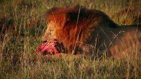Мужской лев есть добычу сток-видео
