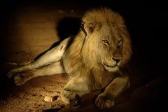 Мужской лев захваченный на ноче Стоковые Фотографии RF