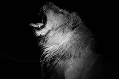 Мужской лев зевая на ноче Стоковое фото RF