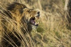 мужской лев зевая Южная Африка Стоковые Фото