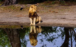 Мужской лев и его отражение сидели на waterhole Стоковые Изображения