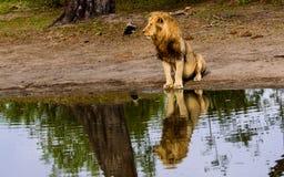 Мужской лев и свое отражение сидели на waterhole Стоковая Фотография RF