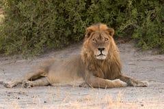 Мужской лев кладя в тень стоковое фото rf