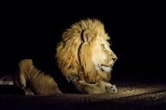Мужской лев на ноче Стоковая Фотография RF