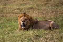 Мужской лев ослабляя стоковые фото