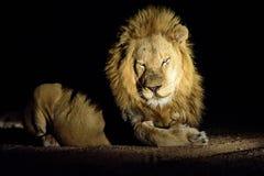 Мужской лев отдыхая на ноче Стоковая Фотография