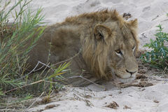 Мужской лев отдыхая на речном береге Стоковые Фото
