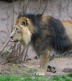 Мужской лев свертывая его язык Стоковая Фотография RF