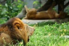 Мужской лев сидя на поле стоковые фотографии rf