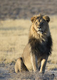 Мужской лев с визуальным контактом Стоковые Изображения