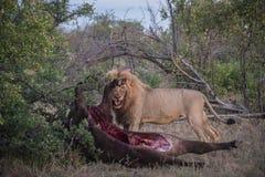 Мужской лев с убийством буйвола Стоковое Фото