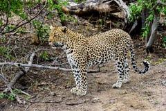 Мужской леопард на предохранителе Стоковая Фотография