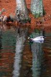 Мужской заплыв дикой утки кряквы в пруде Стоковое Фото