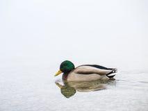 Мужской заплыв утки Стоковое Изображение