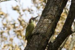 Мужской зеленый woodpecker на осени ствола дерева Стоковые Фото