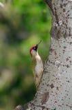 Мужской зеленый woodpecker на стволе дерева Стоковое Изображение RF
