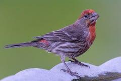 Мужской зяблик дома на ванне птицы Стоковые Фотографии RF