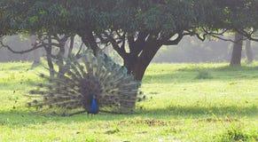 Мужской индийский павлин - павлин - Pavo Cristatus - танцы под деревым манго в поле травы в индийской деревне Стоковые Фото