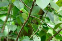 Мужской длиннохвостый попугай Alexandrine (eupatria ожерелового попугая) Стоковая Фотография