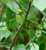 Мужской длиннохвостый попугай Alexandrine (eupatria ожерелового попугая) Стоковое фото RF