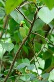 Мужской длиннохвостый попугай Alexandrine (eupatria ожерелового попугая) Стоковые Изображения RF