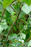 Мужской длиннохвостый попугай Alexandrine (eupatria ожерелового попугая) Стоковые Изображения