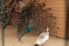 Мужской индийский показ голубого павлина стоковые фотографии rf