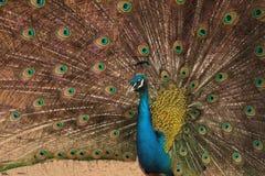 Мужской индийский показ голубого павлина стоковые изображения rf